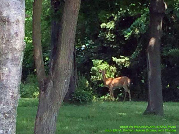 20140704deeronmeadowlark in oakpark01