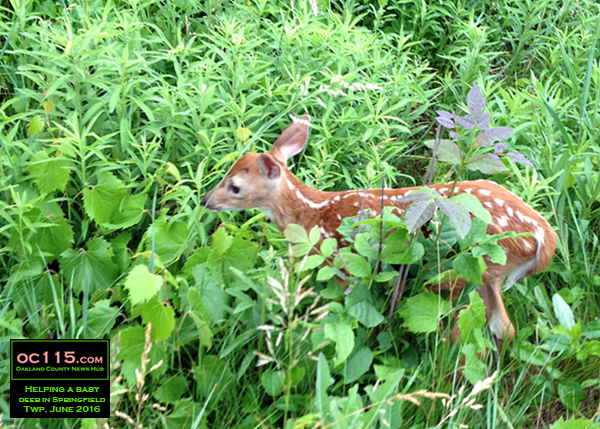 201606_Drivers Stop to Help Baby Deer in Springfield Township 01