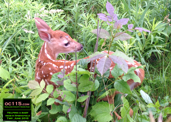 201606_Drivers Stop to Help Baby Deer in Springfield Township_53