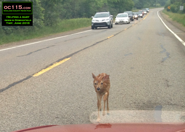 201606_Drivers Stop to Help Baby Deer in Springfield Township_ernest