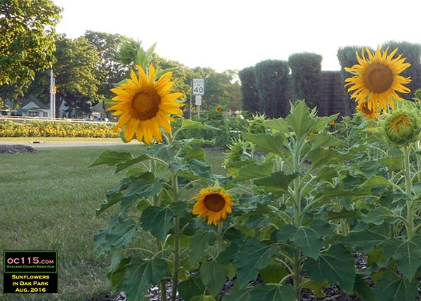 20160804_sunflowers_sunny flowers