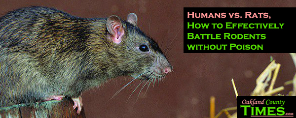 Humans Vs Rats How To Effectively Battle Rodents Without Poison